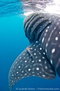 Whale Shark- I really really really want to dive with these gentle giants someday...