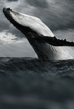 Humpback whale by Goncalo Martins