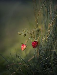 Fruit Garden Art Ideas For 2019 Mother Earth, Mother Nature, Beautiful Flowers, Beautiful Pictures, Nature Pictures, Foto Macro, Wild Strawberries, All Nature, Belle Photo