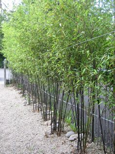 Phyllostachys nigra (full sun or part shade) - Black Bamboo. Perfect, evergreen, privacy border for along fence and front of yard. Have to lay down barrier around planting areas so that it does not spread like wildfire (can be invasive but can also be managed if planned well). Beautiful jet black/mottled green and black bamboo stalks. Wood is very sought after by woodworkers. Functional and pretty.