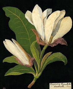 Magnolia by Mary Delany on Curiator, the world's biggest collaborative art collection. Vintage Botanical Prints, Botanical Drawings, Botanical Art, Vintage Art, Art Floral, Illustration Botanique, Illustration Blume, Nature Illustration, Impressions Botaniques