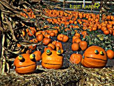 Rupert Pumpkins spotted near Moss Beach, CA #pumpkins