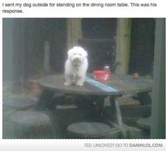 I sent my dog outside for standing on the dining room table. This was his response.