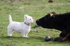 West Highland White Terrier - Westies are not afraid of anything so you must make sure they won't get hurt. Highlands Terrier, West Highland Terrier, Westies, I Love Dogs, Cute Dogs, Animals And Pets, Cute Animals, Yorky, White Terrier