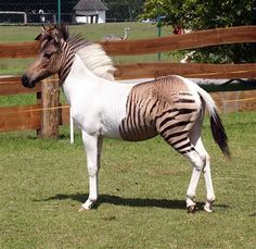 This particular Zebra-Horse hybrid is named Eclyse and has unusual coloring, even for a Zorse. Yes I want!
