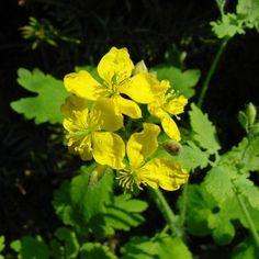 11 plante medicinale pentru un ficat sanatos - Infuzie de Sănătate Kinds Of Diseases, Natural Remedies, Flora, Cancer, Healing, Nature, Paranormal, Therapy, Health