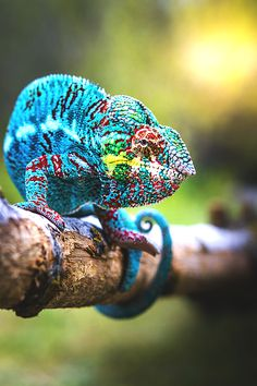 Chameleon , Beautiful Creatures of Nature The Animals, Colorful Animals, Nature Animals, Funny Animals, Funny Cats, Reptiles Et Amphibiens, Mammals, Funny Cat Pictures, Animal Pictures