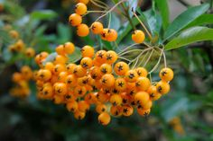 The zesty berries of evergreen shrub Pyracantha 'Soleil d'Or' almost glow during autumn in a shady spot. It can also be trained against a north-facing wall. Dry Shade Plants, Cool Plants, Garden Shrubs, Garden Plants, Garden Spaces, Fast Growing Plants, Side Garden, Plantar, Clematis