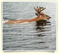 Whitetail deer swimming in the Perrault Falls, Ontario area.