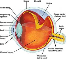 Human eye diagram labeled health medicine and anatomy reference human eye ccuart Image collections