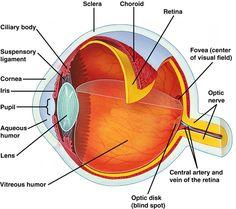 Eye anatomy chart a anatomy pinterest eye anatomy anatomy and human eye ccuart Gallery