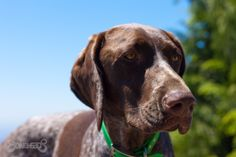 German Shorthaired Pointer, Gus