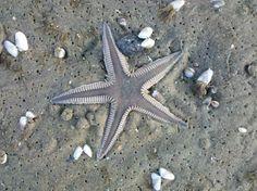 Astropecten armatus, also known spiny sand star Order:Paxillosida, Family:Astropectinidae,Genus:Astropecten