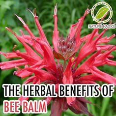 Bee Balm face mask and other uses!  It contains Tannis which keeps skin clear and glowing. The mask can be made by combining 2 tablespoons of finely crushed bee balm leaves, ½ cup of ground oats, ¼ a cup of honey, and ¼ a cup of aloe vera gel and mixing until a thick paste is formed.