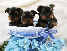 affectionate teacup yorkie puppies for adoption in Los Angeles USA PM) Yorkie Puppies For Adoption, Aussie Puppies, Yorkie Puppy, Baby Yorkie, Teacup Yorkie, Teacup Puppies, Free Puppies, Dogs And Puppies, Corgi Puppies