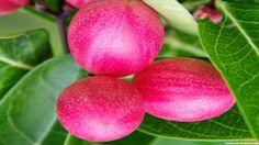 Karonda Fruit