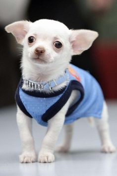 This chihuahua has some real style.
