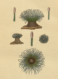 Actinia viridis (Actinie verte) | Flickr - Photo Sharing!