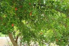 How to Prune Pomegranate Trees | eHow