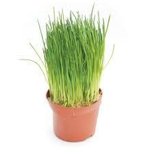 Afbeeldingsresultaat voor bieslook plant