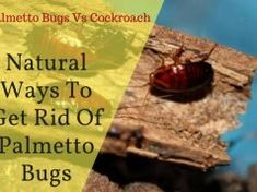 10 Natural Ways To Get Rid Of Palmetto Bugs – Cockroach vs Palmetto Bug Palmetto Bugs, Sugar Ants, Essential Oils For Asthma, Getting Rid Of Rats, Vicks Vapor Rub, Toenail Fungus Remedies, Roaches, Odor Remover, Food Out