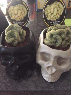 Brain cactus in skull pots. $20 from Bunnings