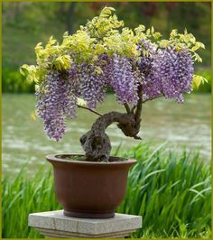 Wisteria can be trained to grow as a tree. There are also less invasive varieties available.  Wisteria comes in so many colors now. So magical and beautiful.