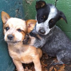 Red and Blue heeler pups. Puppies And Kitties, Cute Puppies, Pet Dogs, Dog Cat, Pets, Kittens, Baby Animals, Cute Animals, Funny Animals