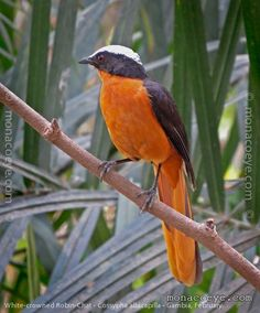 White-Crowned Robin Chat - wide range in Africa