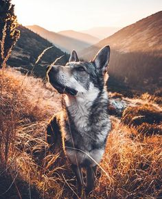 dog stuff,dog ideas,dog care,dog tips,dog grooming Cute Puppies, Cute Dogs, Dogs And Puppies, Doggies, Beautiful Dogs, Animals Beautiful, Beautiful Wolves, Animals And Pets, Cute Animals