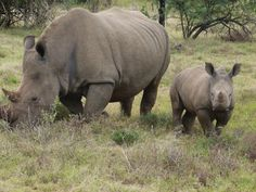 Wouldn't you like to Adopt, name and protect these two? www,poachedrhino.org