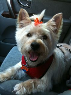 Darcy from The Dirty Westie and her Cairn Sidekick blog - what a cutie!!
