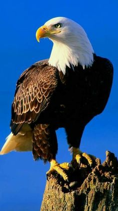 Most Current Absolutely Free Birds of Prey Thoughts, Raptors The Effective Pictures We Offer You … Eagle Images, Eagle Pictures, Bird Pictures, Animal Pictures, Pretty Birds, Beautiful Birds, Animals Beautiful, Cute Animals, Aigle Animal