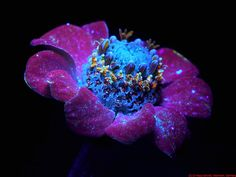 Photography of the Invisible World: Zinnia: UV Induced Visible Fluorescence - ultraviolet photography Uv Photography, Glowing Flowers, Easy Landscape Paintings, Ms Blue, Art Folder, Zinnias, Uv Led, Amazing Nature, Ultra Violet