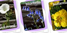 Twinkl Resources >> Flowers Display Photos  >> Thousands of printable primary teaching resources for EYFS, KS1, KS2 and beyond! flowers, flower, photo, photos, display, summer pictures, flower photos, rose, daisy, bluebell, buttercup, dandelion,