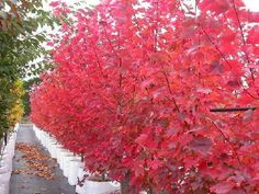 Acer rubrum - October Glory Lipstick Maple Red Maple Tree