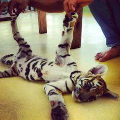 Tygrysek! Jedź z nami do Tajlandii! Między treningami Mai Tai integruj się z tamtejszą zwierzyną!