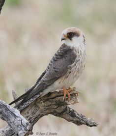 """""""And rising there behind the city you can make out Tibidabo: I saw my first red-footed falcon there, when i was a boy."""" -- Master and Commander, Chapter 10 // Red-footed falcon (Falco vespertinus) by Juan Bazán."""