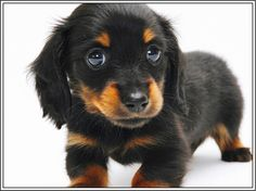 4 Dog Puppy Long Haired Dachshund Doxie dogs Puppies Greeting Notecards/ Envelopes Set