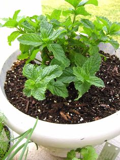 Create herbal garden - top 10 of the most popular culinary herbs and spices - Garden Design Ideas
