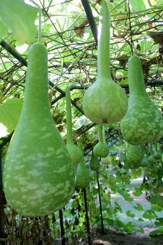 Dipper Gourds on trellis.......looks like garden art to me....lovely.