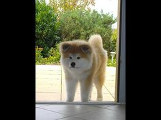 「秋田犬とかいうパワー系日本犬wwwww」の画像 : ハムスター速報