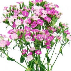 Pink Dianthus flowers are a great filler flower with an amazingly long vase life. This is a big hit if you are looking for pink wedding flowers, ready to use in any occasion, order bulk flowers online now and save big! Dianthus Flowers, Ranunculus, Carnations, Bulk Flowers Online, All The Colors, Color Splash, Wedding Flowers, Plants