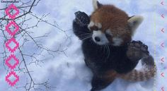 Is There Anything Cooler Than Red Pandas Frolicking? [VIDEO]