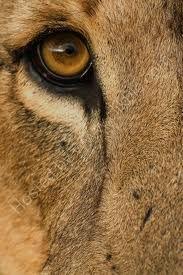 lion eye