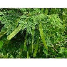 شجرة أكاسيا لوسينا تستطيع تثبيت النتروجين الجوي داخل التربة مما يزيد من خصوبتها على مر الأيام جذورها وتدية عميقة أكثر من 6 متر تمت Ginger Beer Plants Herbs
