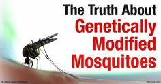 Releasing GE mosquitoes into the environment means local residents are acting as Oxitec's experiment whether they like it or not. http://articles.mercola.com/sites/articles/archive/2016/04/05/gmo-mosquitoes.aspx