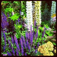 Hampton Court Flower Show 2012 - salvia