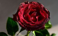 Wallpaper Download 5120x3200 Perfect red rose full with fresh water drops -. Beautiful Macro Wallpapers. HD Wallpaper Download for iPad and iPhone Widescreen