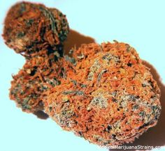 Orange nugs The best seeds# http://www.spliffseeds.nl/silver-line/blue-berry-seeds.html